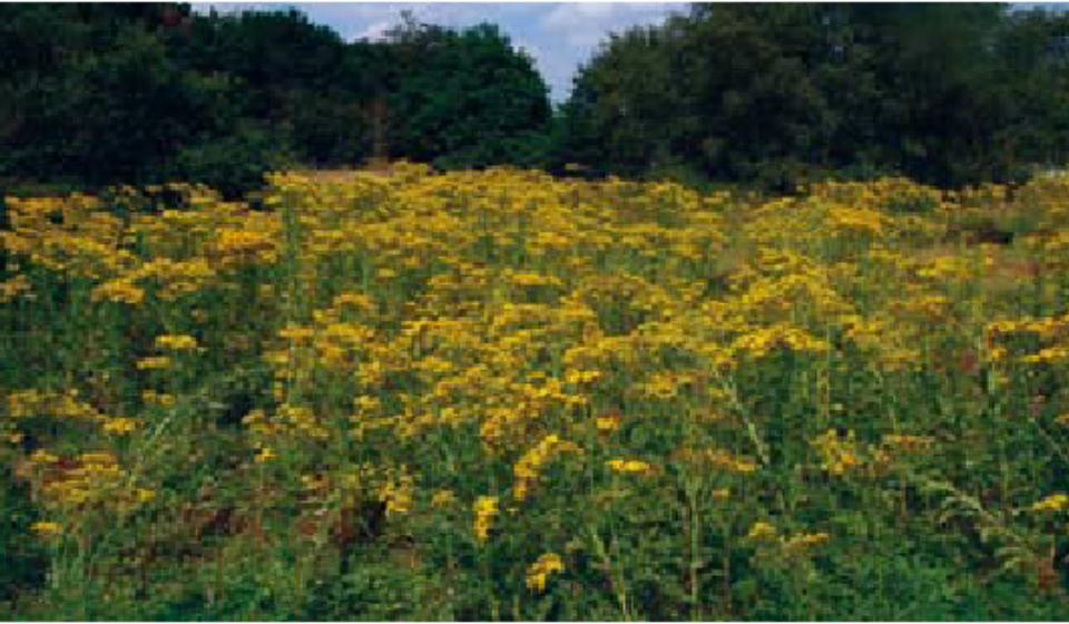 Ragwort-Senecio-jacobaea-growing-in-the-UK-Although-a-native-species-ragwort